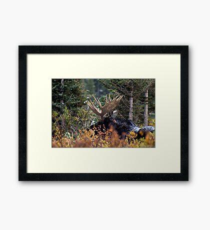 Bull Moose Framed Print