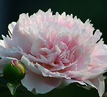 First Peony by autumnwind
