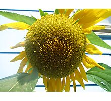 Sun flower Photographic Print