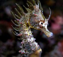 Short Head Seahorse (Hippocampus breviceps) by daveharasti