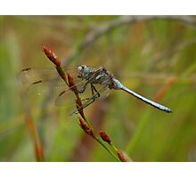 Turquoise Dragonfly Photographic Print