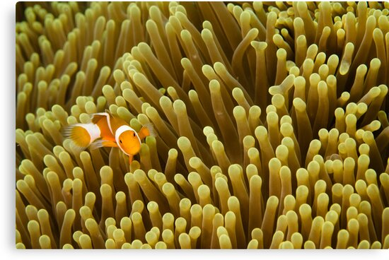 Nemo on Yellow by muzy