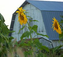 Sunflowers  by MichiganGirl