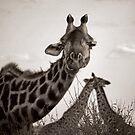 Giraffe Threesome, 2009 by Sarah Mackie