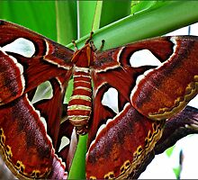 """"""" This is the full size moth of the one below"""" (being Naughty i'm afraid) by mrcoradour"""