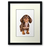 Brown dachshund puppy Framed Print