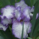 My Front Yard - Two-tone Iris by BarbBarcikKeith