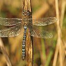Autum Dragonfly by Robert Abraham