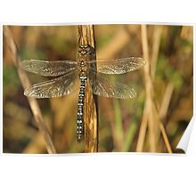 Autum Dragonfly Poster