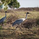 birds #102, wandering &amp; wondering, brolga by stickelsimages