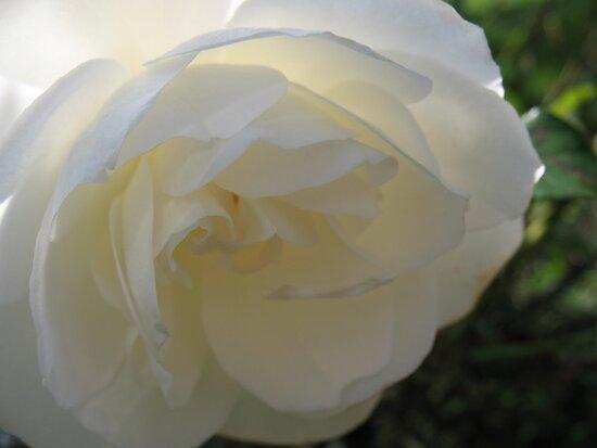 Satin Rose by MarianBendeth