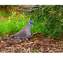wood pigeon Photographic Print