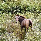 Young colt in the wild flowers by Ruth Lambert