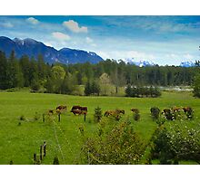 Cows Grazing In The Pasture Photographic Print
