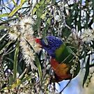 Rainbow Lorikeets by Lesley Smitheringale
