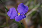 Patersonia sericea (Native Iris) by Robert Elliott
