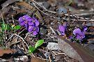 Tiny petals ~ Hardenbergia violacea (False sarsaparilla) by Robert Elliott