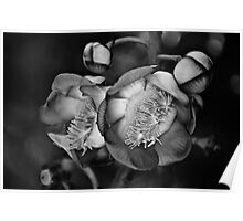 Cannonball Tree Poster