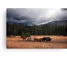 California Cows Canvas Print