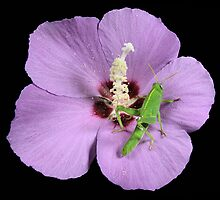 Grasshopperlarva on Hibiscus-flower by jimmy hoffman