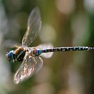 Flying Dragonfly by swaby