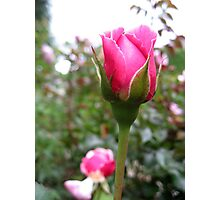 Baby Pink Rosebud No.2 Photographic Print