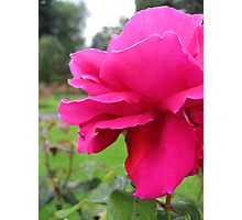 Rose Sugar Pink Photographic Print