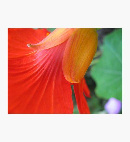 Nasturtium Abstract Photographic Print
