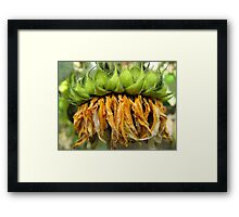 Withered Sunflower no.4 Framed Print