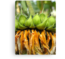 Withered Sunflower no.6 Canvas Print