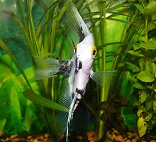 Angel fish by kaotic-shell