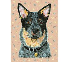 Australian Cattle dog - Blue Photographic Print