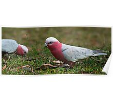 Galahs in the Yard Poster
