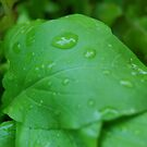 macro basil leaf after rain shower by angiebabie11290