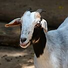 Bahamian Goat by longaray2