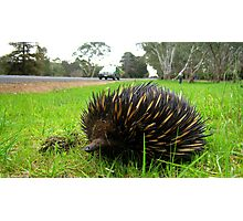 Roadside Echidna Photographic Print