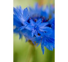 Impressionistic Cornflower Photographic Print