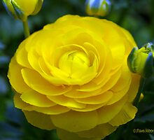 Yellow Begonia by Pam Moore