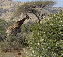 Giraffe Height Tree in South Africa by Keith Richardson