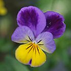 Pansy in Nanna's Garden by reney03
