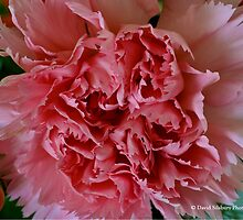 Pink Carnation by David's Photoshop
