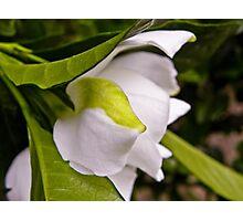 Green Leaf Gardenia Photographic Print