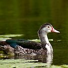 Duck by photowes