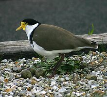 Plover with eggs by Christine Beswick