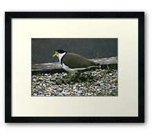 Plover with eggs Framed Print
