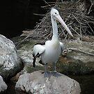 Pelican Pete by judygal