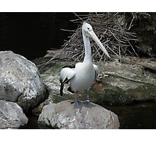 Pelican Pete Photographic Print