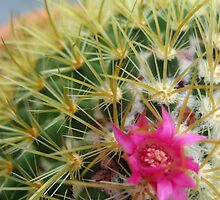Flowering Cactus by Orla Cahill Photography