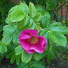 Shy Rose by BlueMoonRose