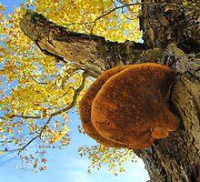 Shelf Mushroom. Fungus by Joie  Finley Morris